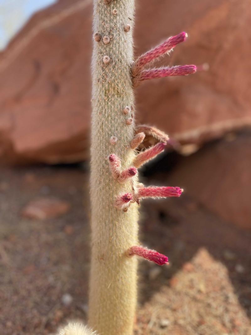 silver-torch-cactus.jpeg