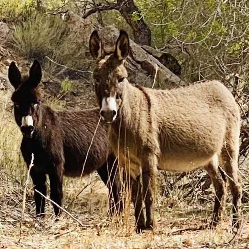 Burros in the canyon