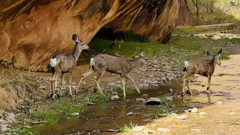 Mule deer crossing stream in Coyote Gulch